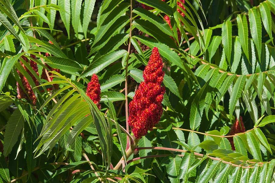 Sumac tree (shrub)