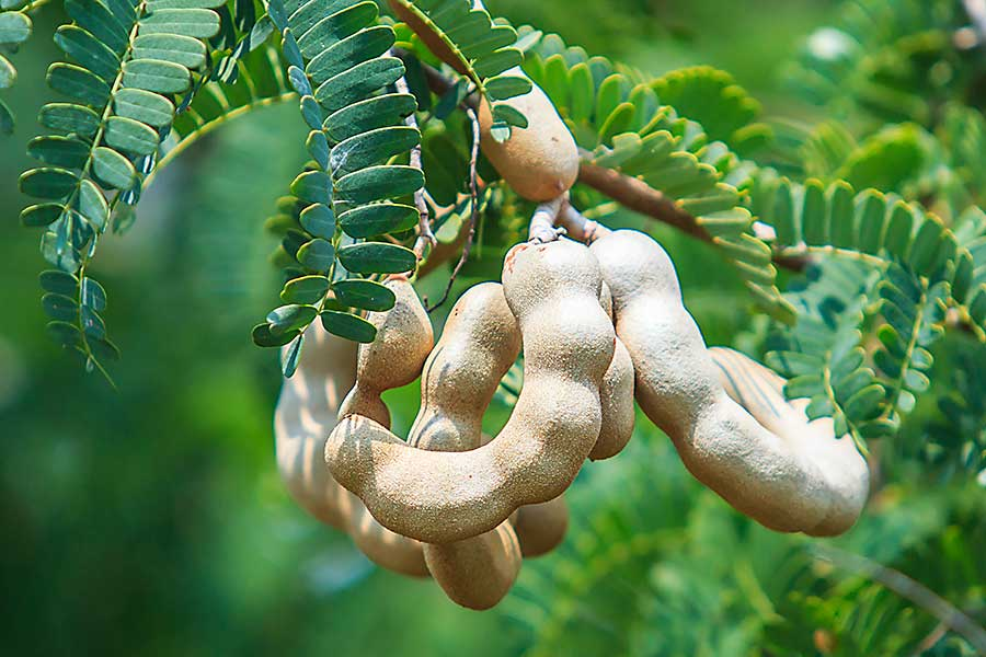Tamarind is a type of leguminous tree