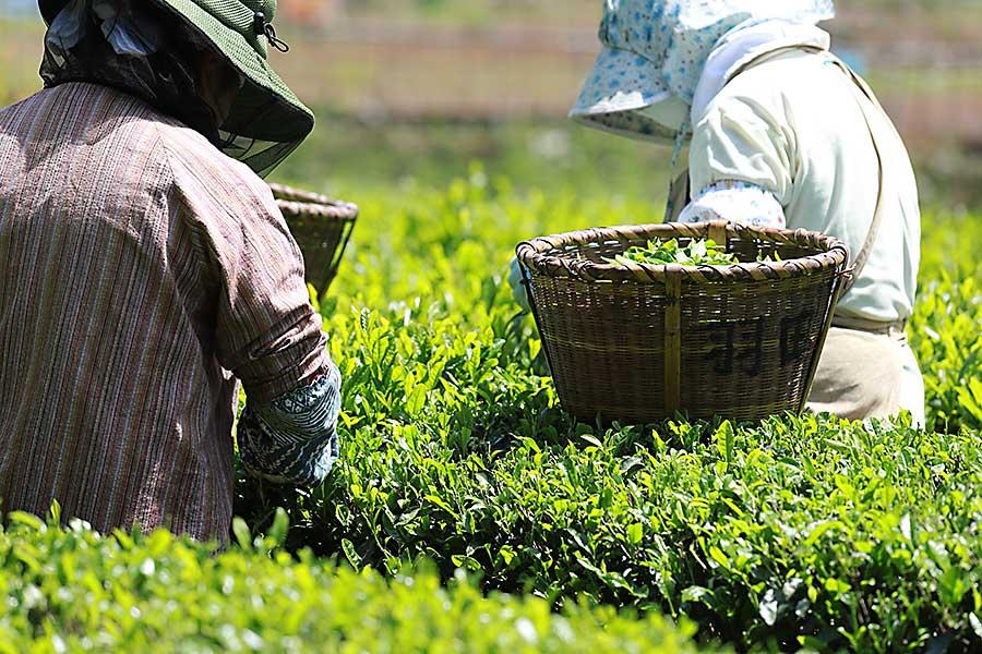 matcha tea harvesting
