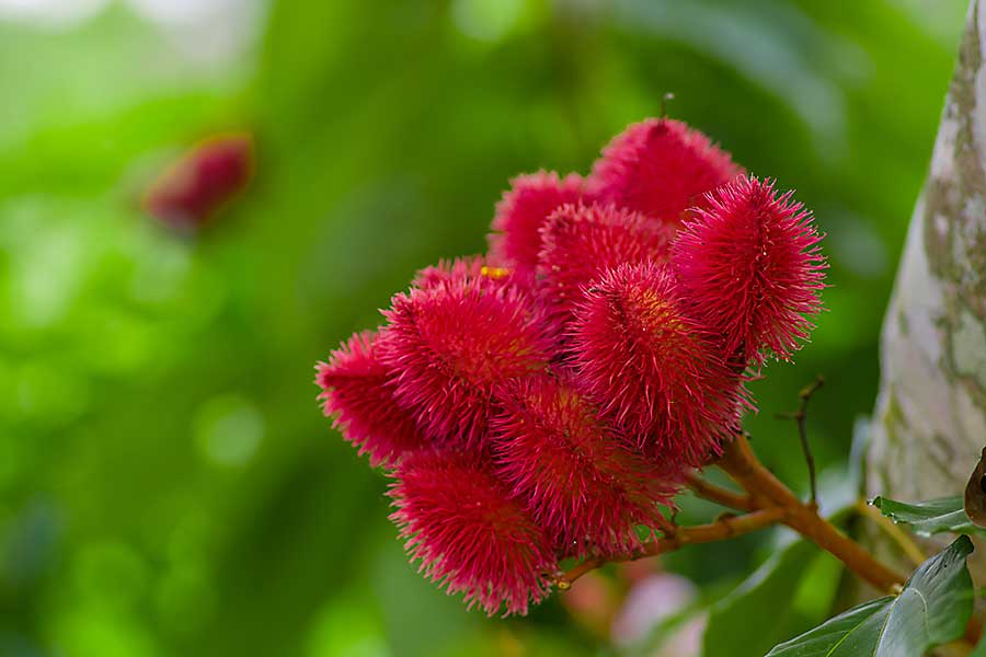 Achiote plant or Annatto plant seeds from these spiny red pods are used for flavoring and natural color