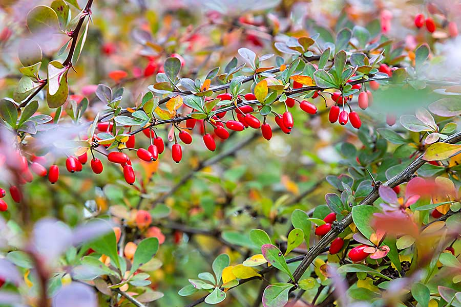 Barberry plant with berries
