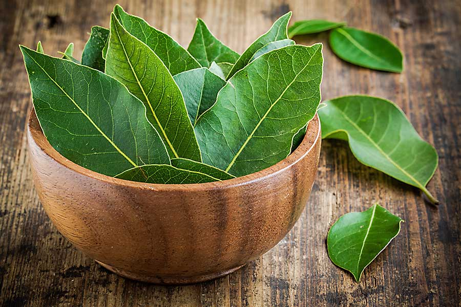Bay leaf - fresh leaves