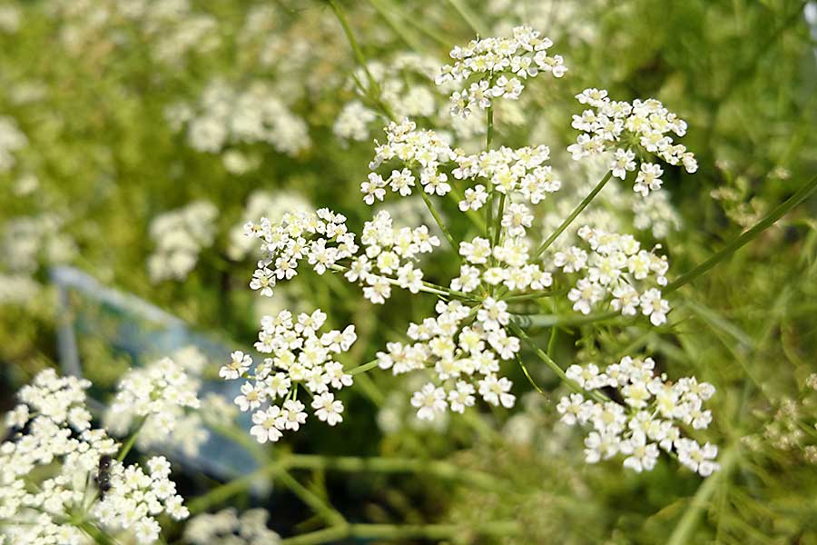 Caraway seed plant with flowers