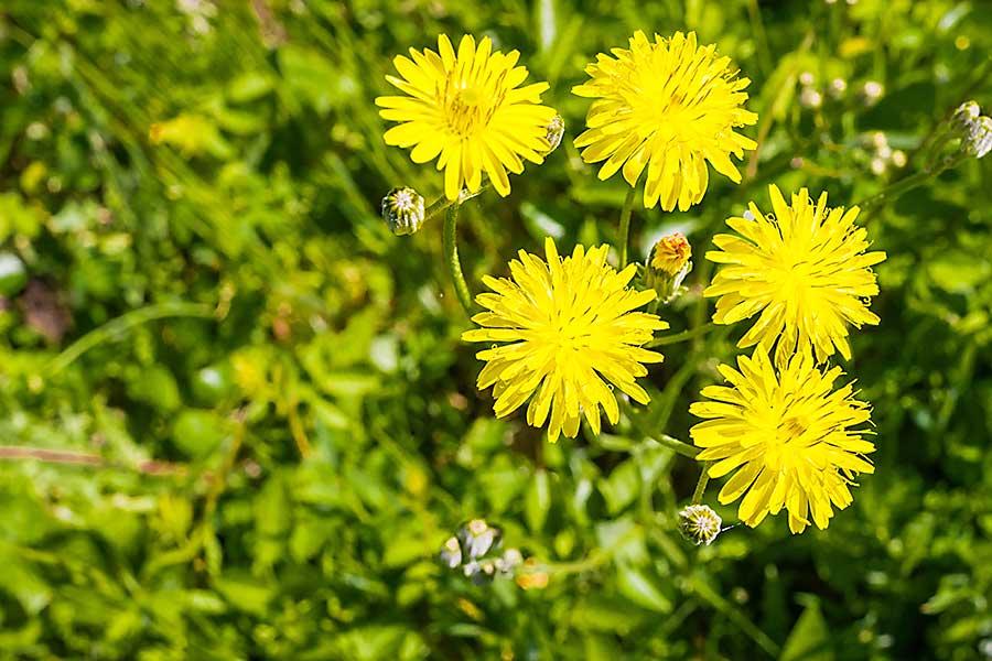Catsear flowers