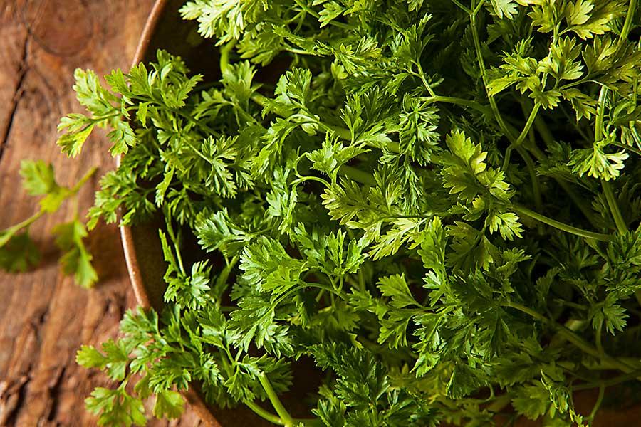 Chervil plant in the pot