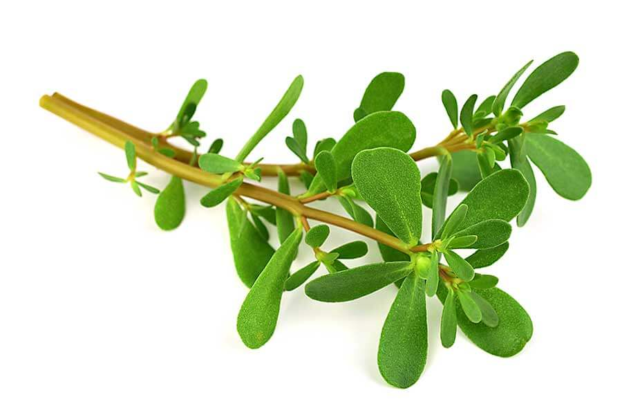 Fresh Common Purslane