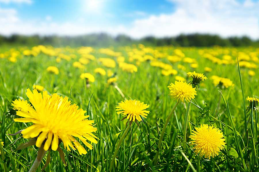 Dandelion flowers on the meadow