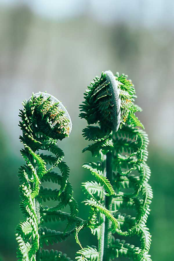 Fiddlehead fern leaves