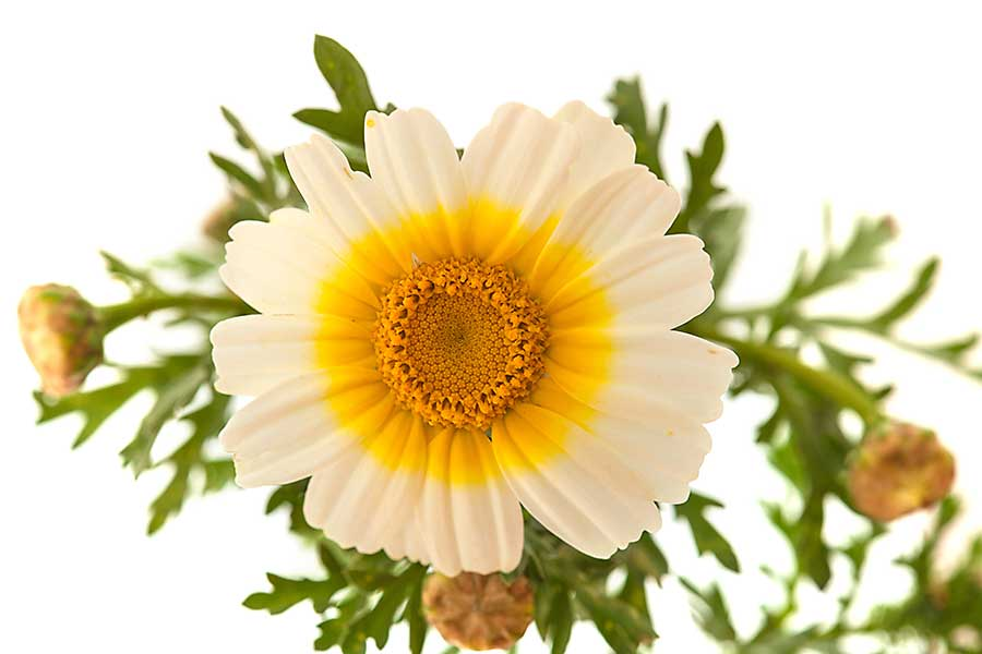 Garland Chrysanthemum flower