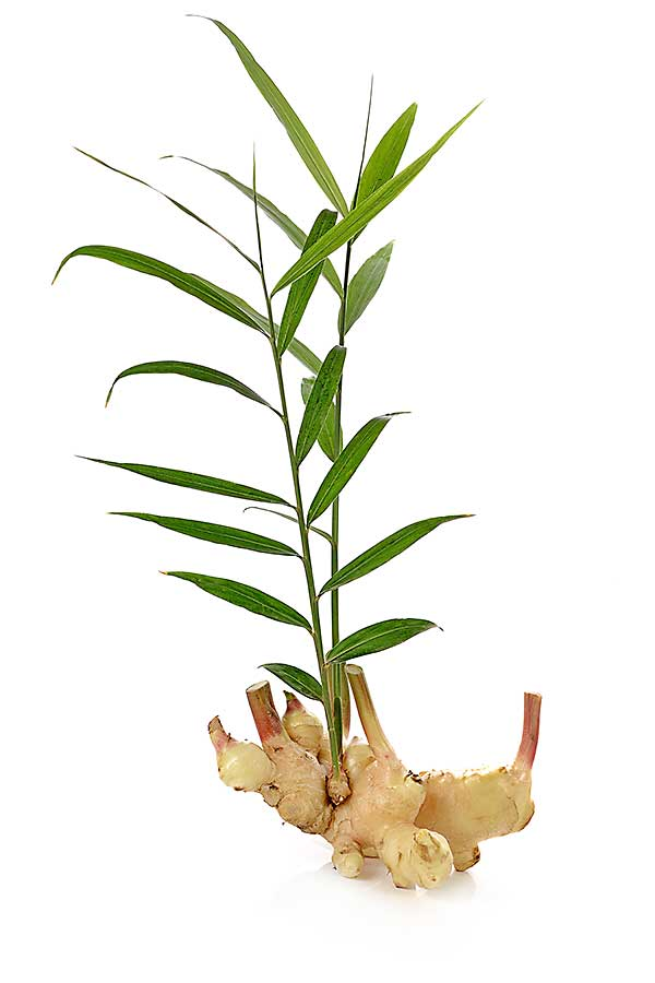 Ginger plant - root and stalk with leaves