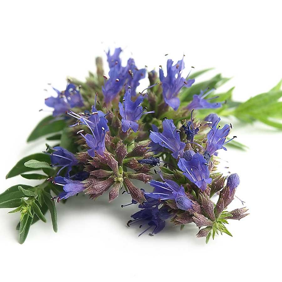 Hyssop flowers