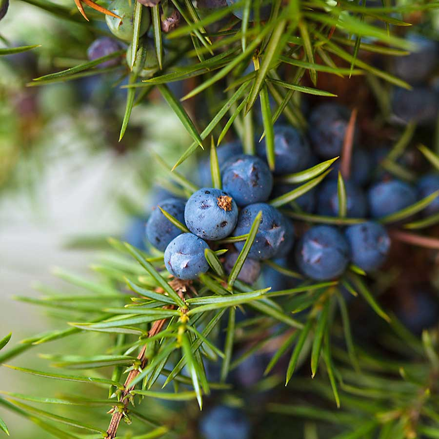 Juniper berries on the plant (bush)