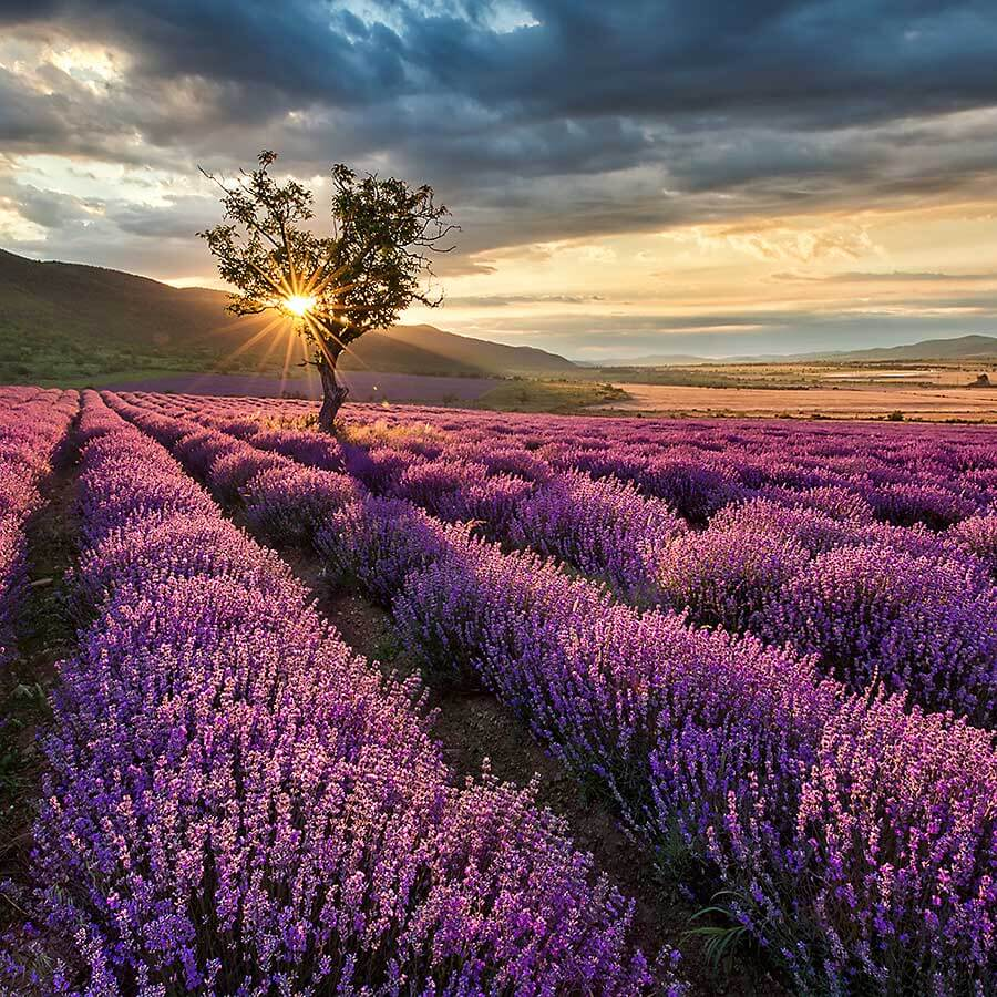 Field of a lavender at sunset