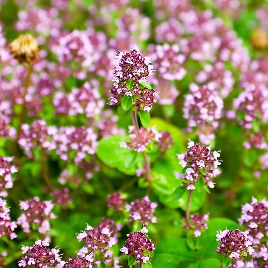 Marjoram - flowering plant in nature