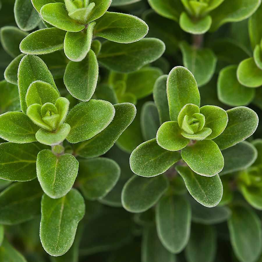 Marjoram growing in the garden