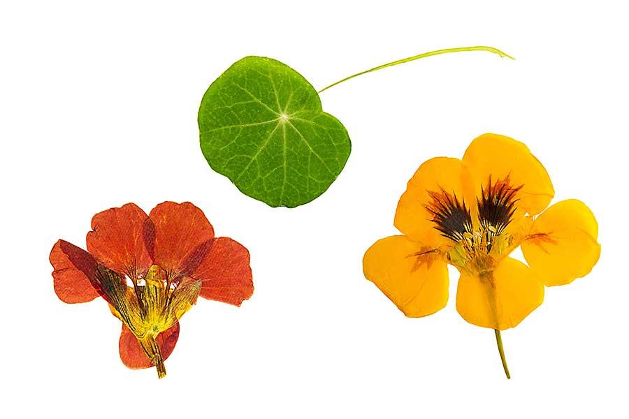 Nasturtium flower and leaf