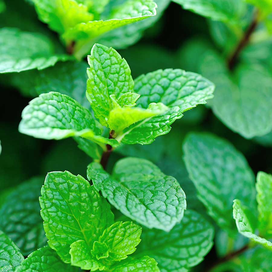 Mint, an evergreen herb that is native to Europe.