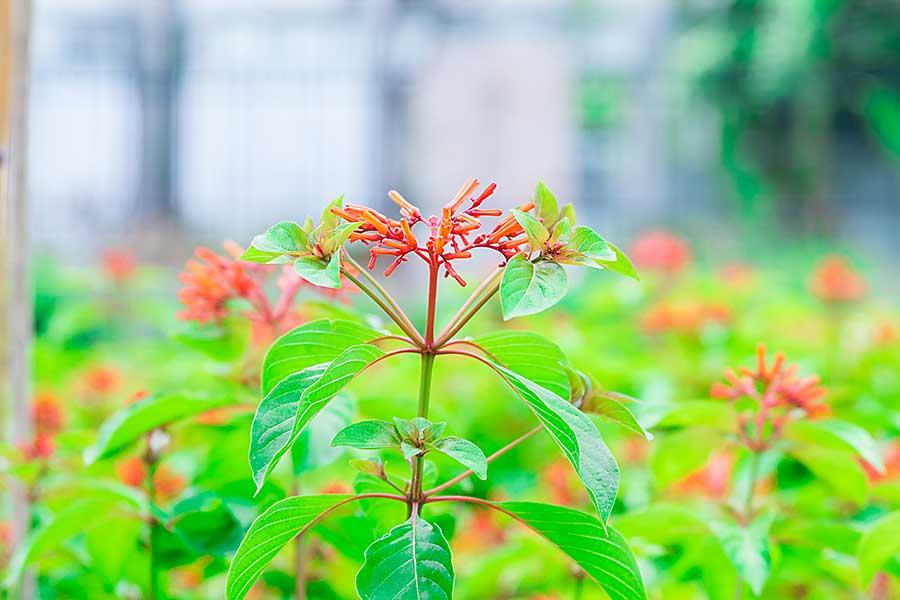 Quassia plant
