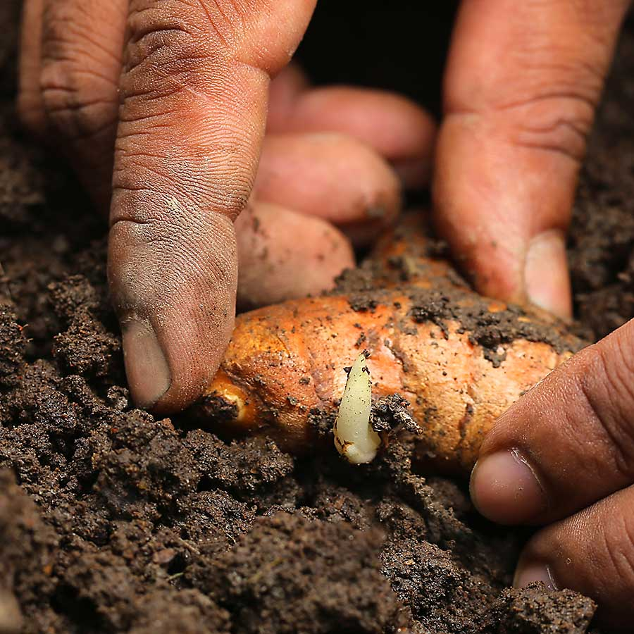 Planting tumeric (Curcuma longa) into the soil