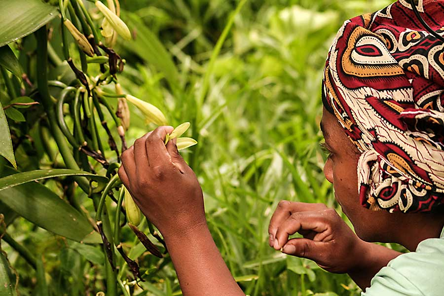 A malagasy woman pollinate manually a vanilla flower on January 13, 2017