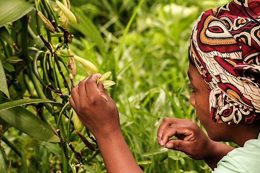 A malagasy woman pollinate manually a vanilla flower on January 13, 2017